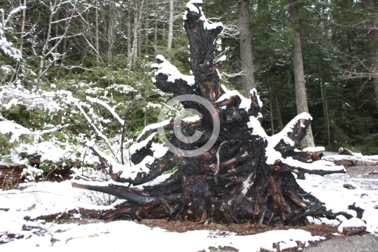 Tree stump covered in snow