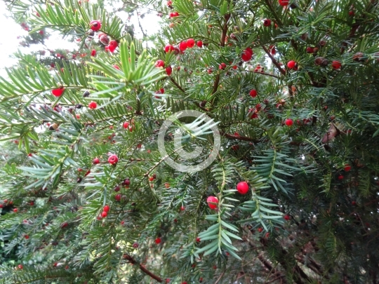 Yew Tree Branches